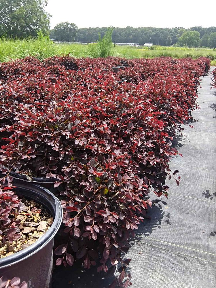 loropetalum-chinense-rubrum-shang-lo-chinese-fringe-flower-purple-pixie-loropetalum-chinense-rubrum-peack
