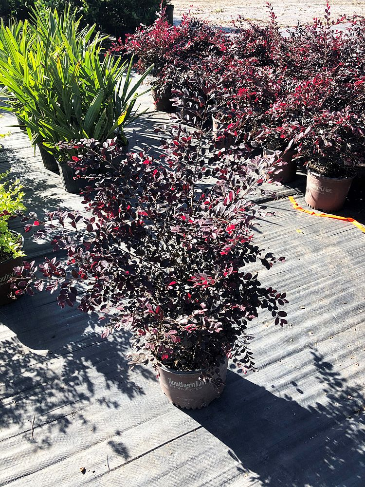 loropetalum-chinense-shang-hi-purple-diamond-reg-semi-dwarf-chinese-fringe-flower
