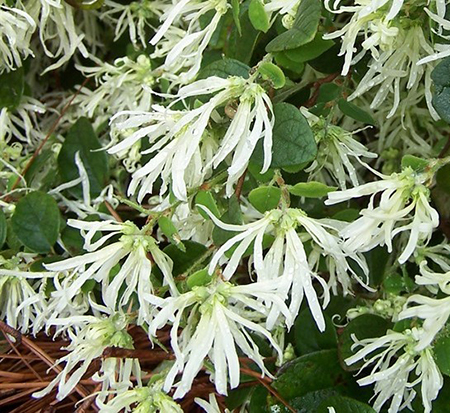 loropetalum-chinense-shang-white-chinese-fringe-flower-emerald-snow