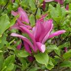 magnolia-betty-deciduous-magnolia