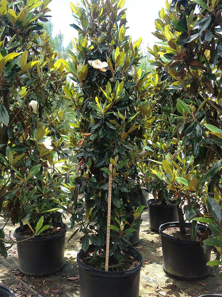 Forest Hill Plant Ceaux   plantANT.com