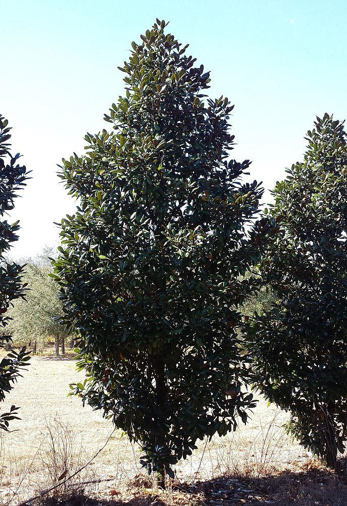 Huntsman Tree Supplier Inc Plantantcom