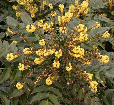 mahonia-x-media-winter-sun-oregon-grape-holly
