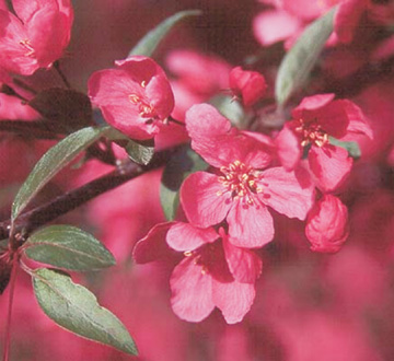 malus-prairiefire-crab-apple