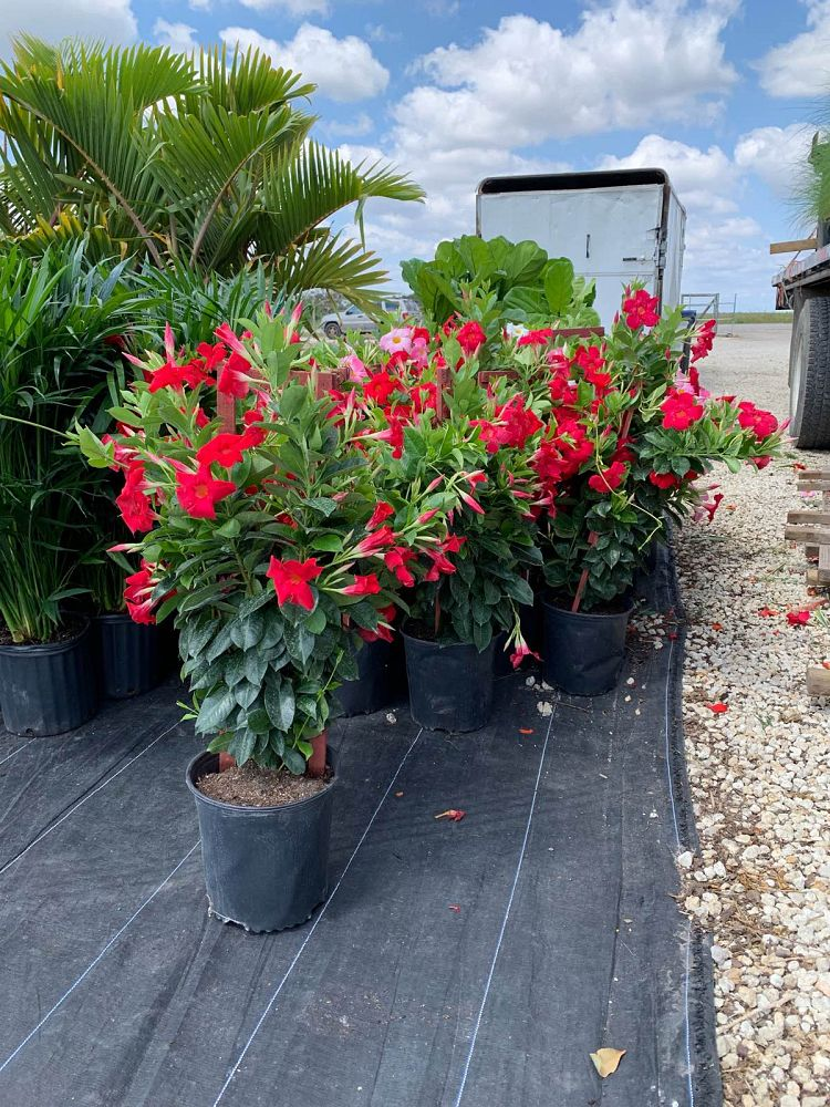 mandevilla-tropical-breeze-flaming-red
