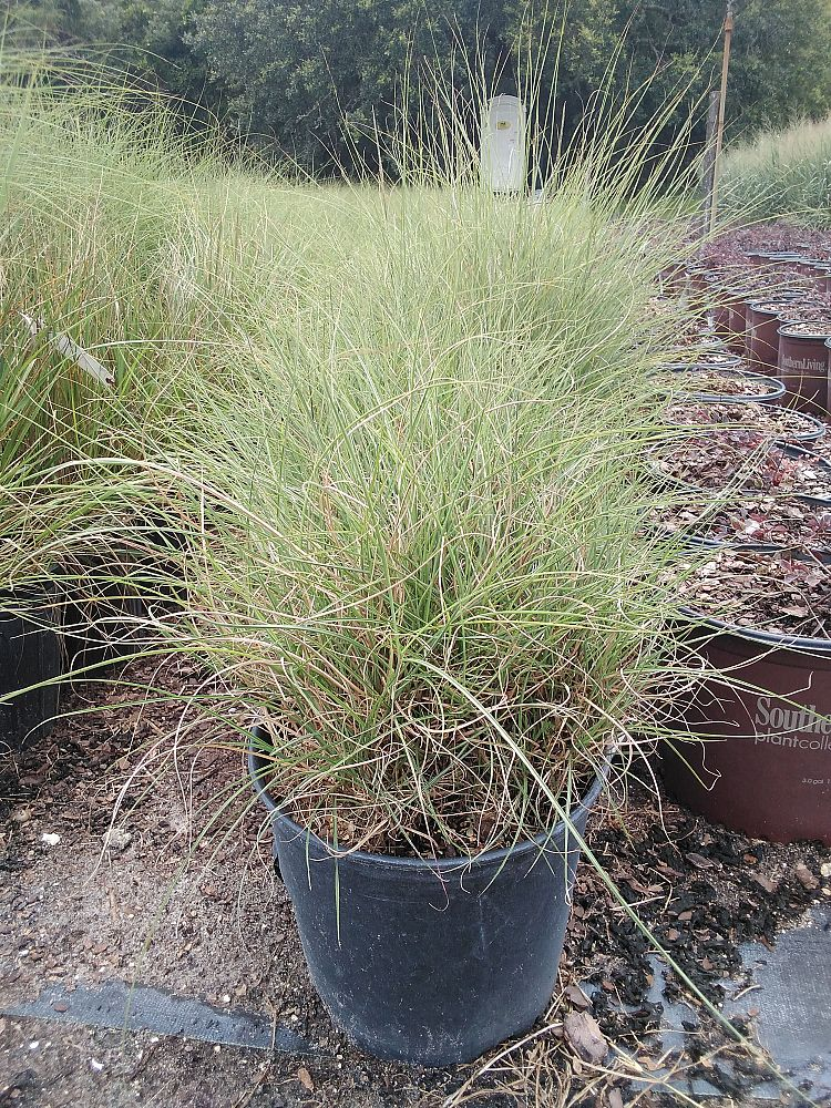 miscanthus-sinensis-little-kitten-eulalia-grass-chinese-silvergrass-maiden-grass
