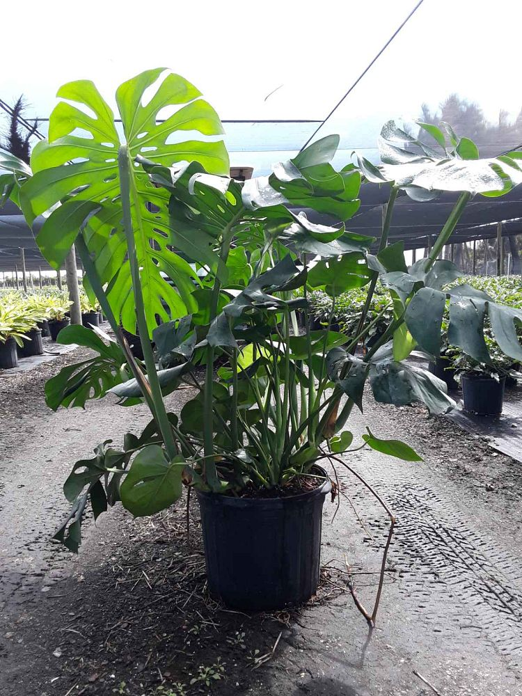 monstera-adansonii-monstera-plant-swiss-cheese-philodendron