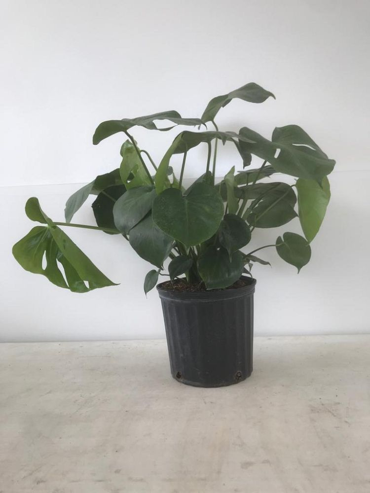 monstera-deliciosa-swiss-cheese-vine-philodendron-pertusum-monstera-lennea-mexican-breadfruit-ceriman