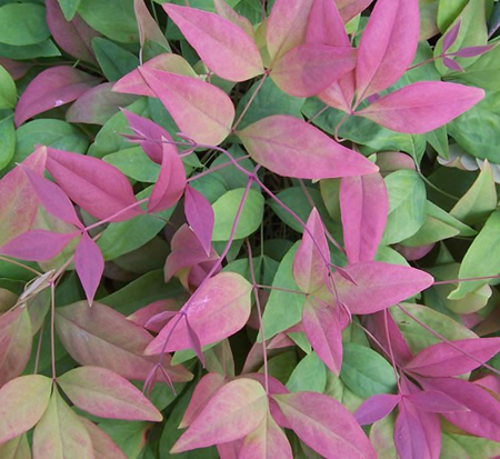nandina-domestica-aka-heavenly-bamboo-blush-pink