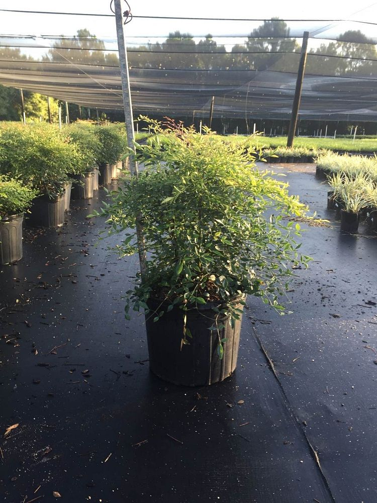 nandina-domestica-compacta-heavenly-bamboo