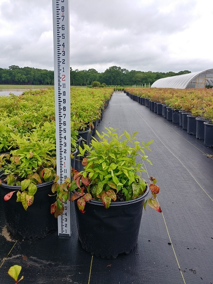 nandina-domestica-firepower-heavenly-bamboo