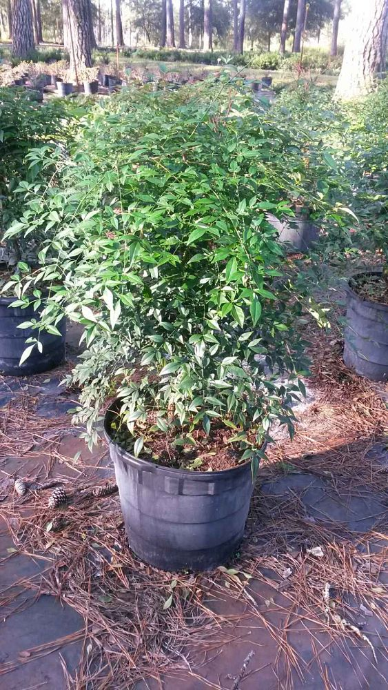 nandina-domestica-glen-compact-heavenly-bamboo
