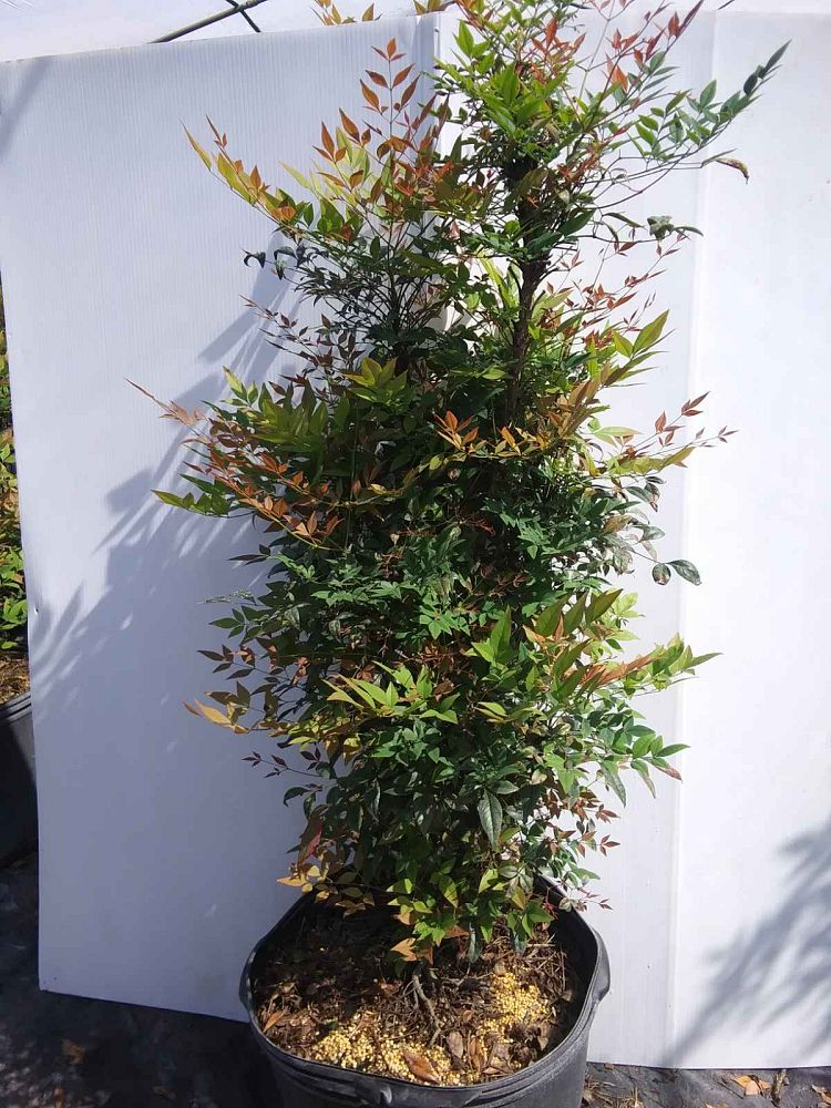 nandina-domestica-gulfstream-heavenly-bamboo-gulftide