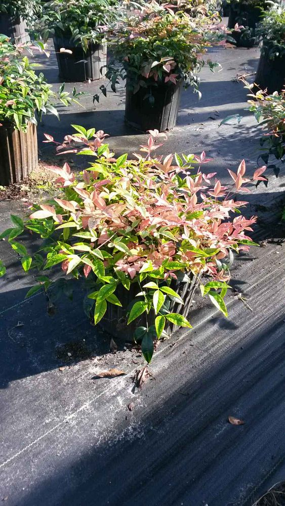 nandina-domestica-harbor-belle-heavenly-bamboo