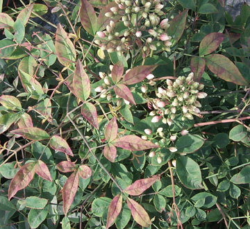 nandina-domestica-harbour-dwarf-heavenly-bamboo