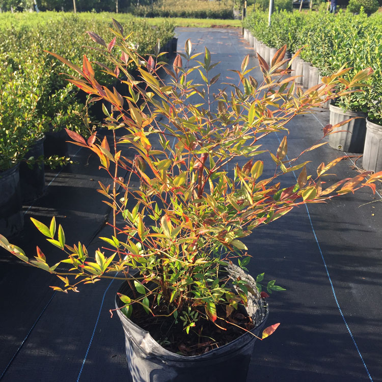 nandina-domestica-heavenly-bamboo