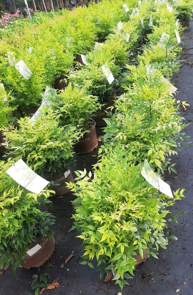 nandina-domestica-lemon-lime-heavenly-bamboo