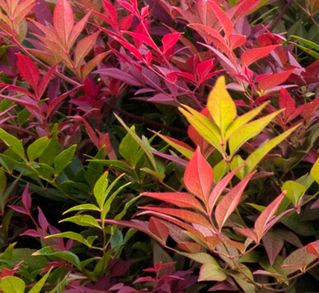 nandina-domestica-seika-heavenly-bamboo-obsession