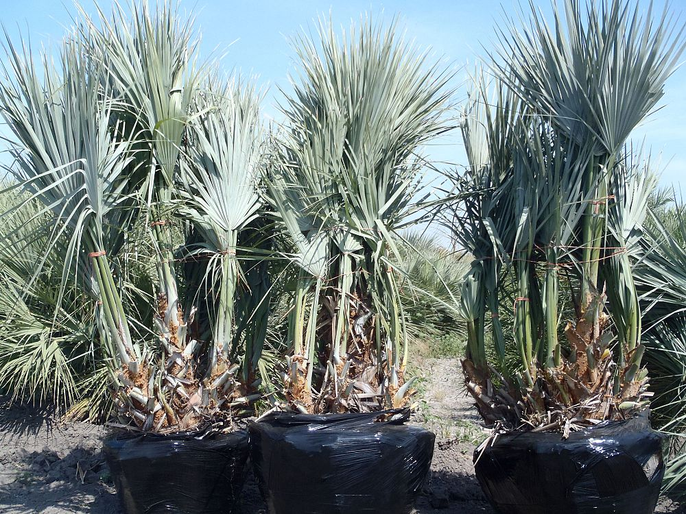 south texas palms