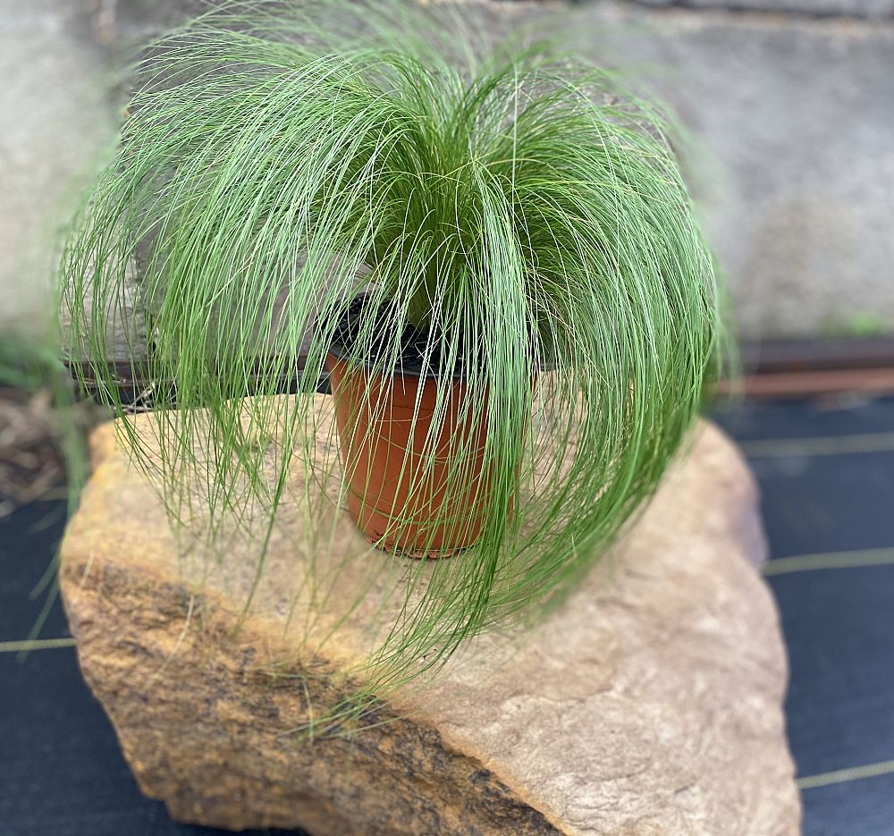 nasella-tenuissima-mexican-feather-grass