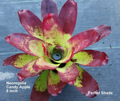 neoregelia-candy-apple-bromeliad