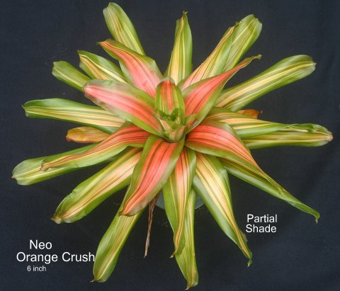 neoregelia-orange-crush-bromeliad