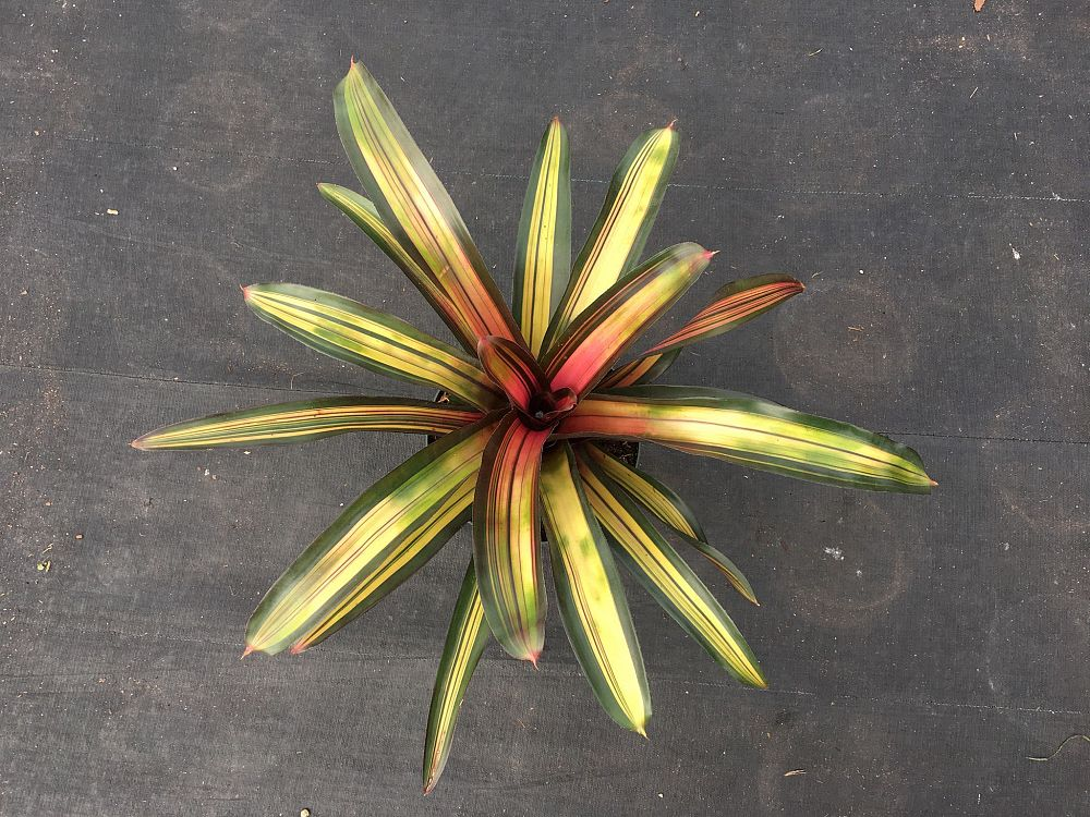 neoregelia-perfection-bromeliad