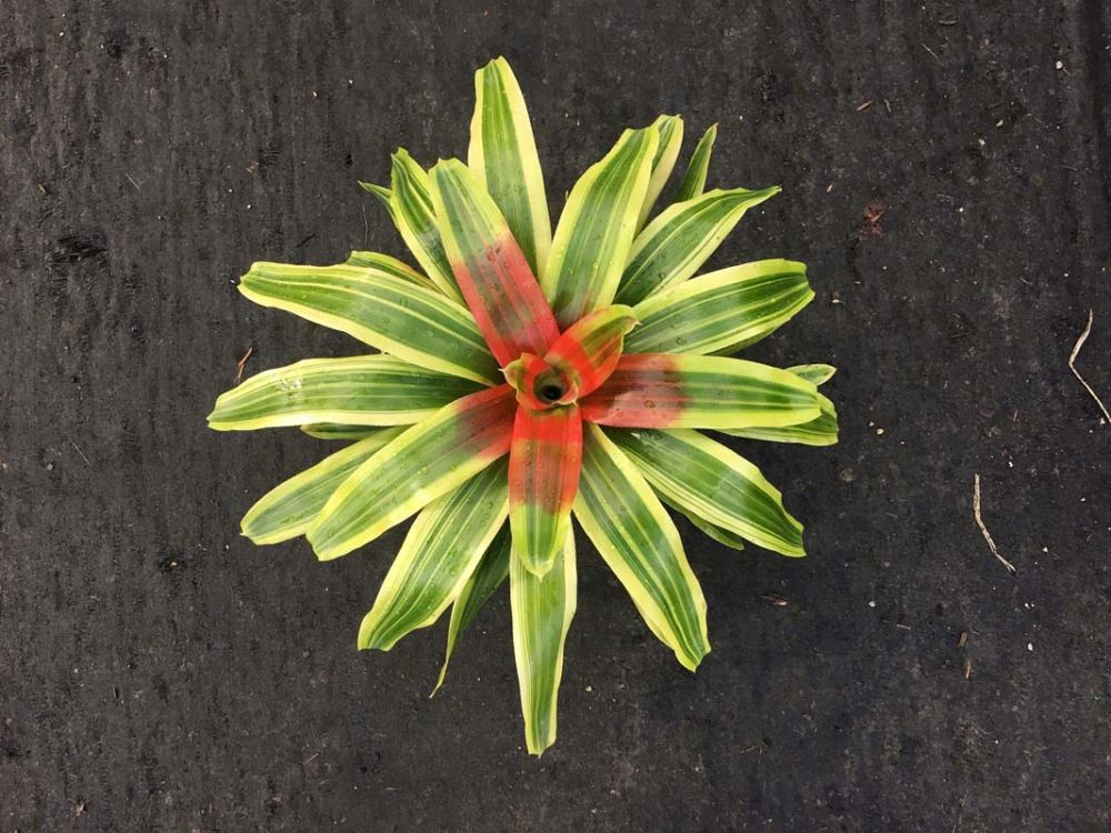 neoregelia-yellow-king-bromeliad