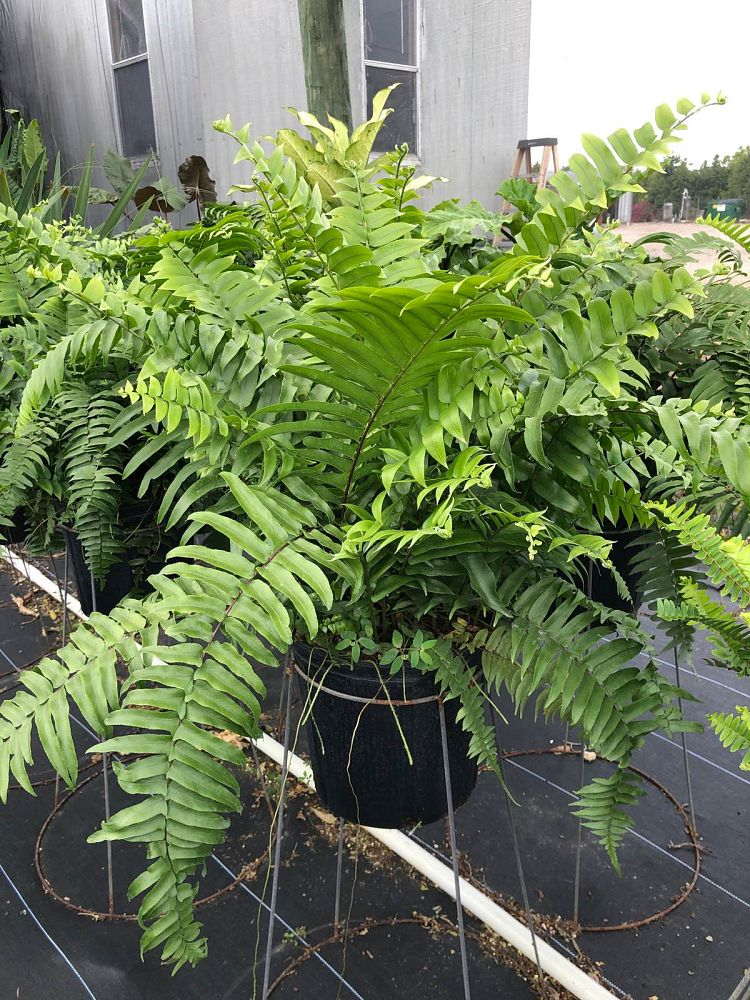 nephrolepis-biserrata-macho-giant-sword-fern-macho-fern