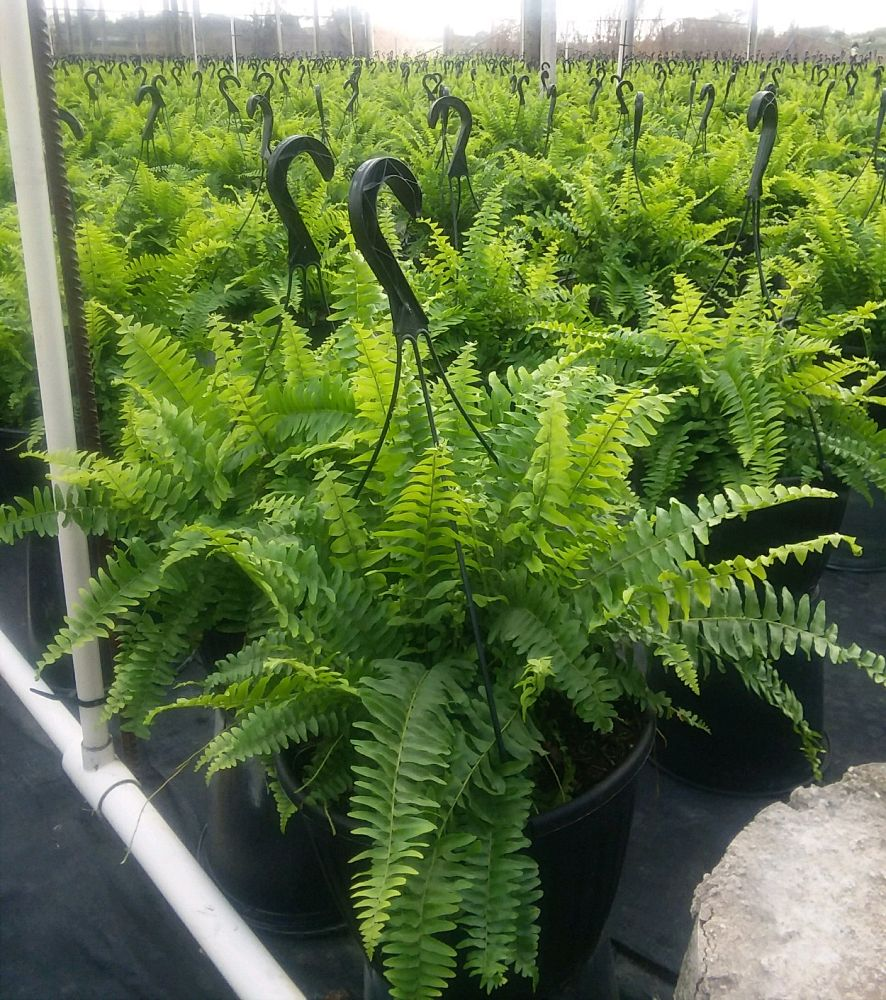 nephrolepis-exaltata-boston-fern
