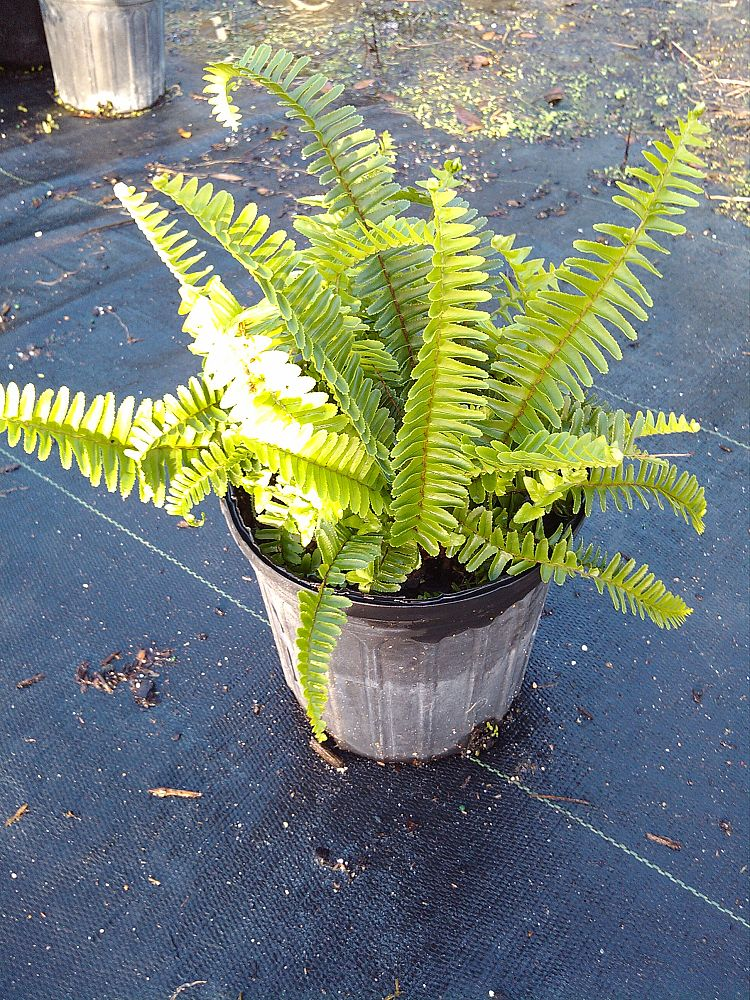nephrolepis-exaltata-bostoniensis-true-boston-fern-massii