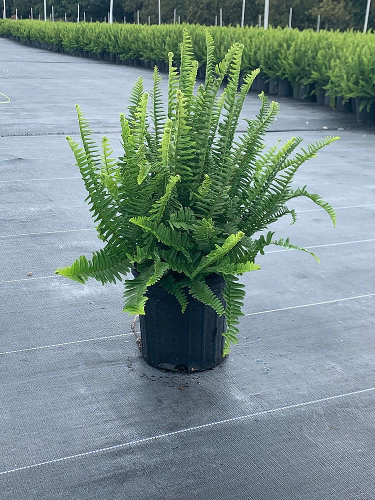 nephrolepis-obliterata-kimberly-queen-kimberly-queen-fern