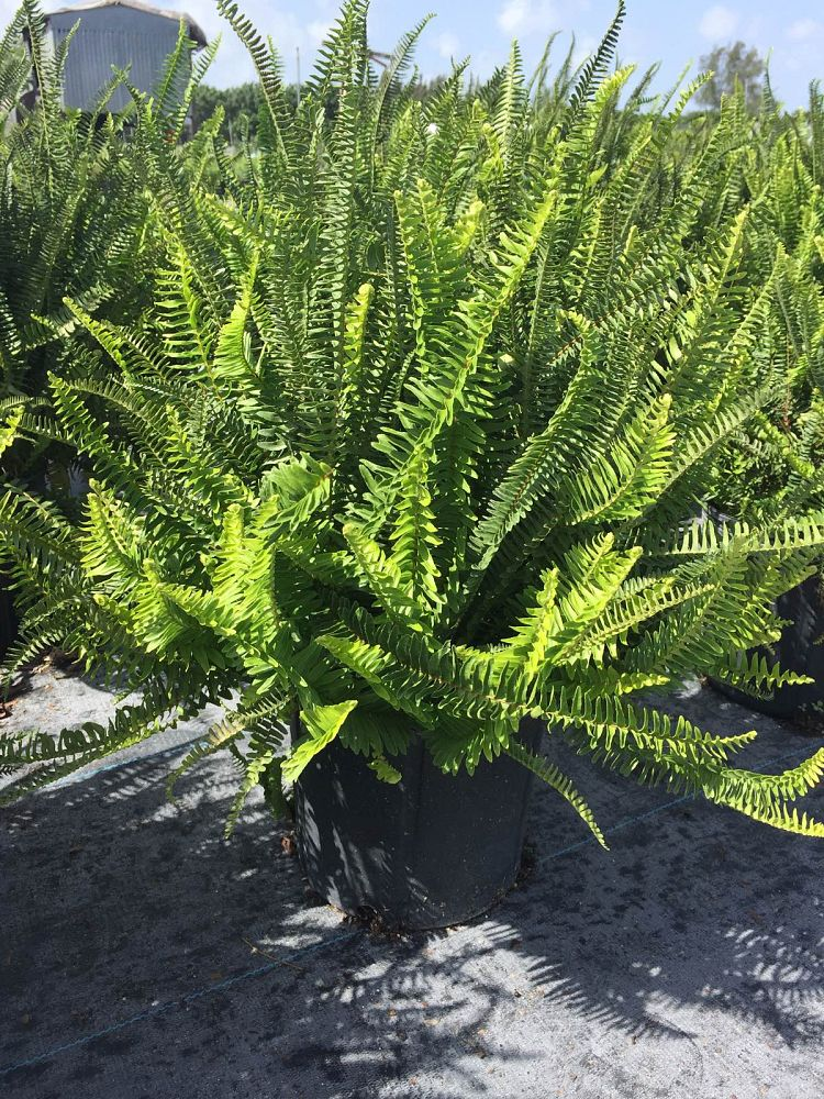 nephrolepis-swordfern