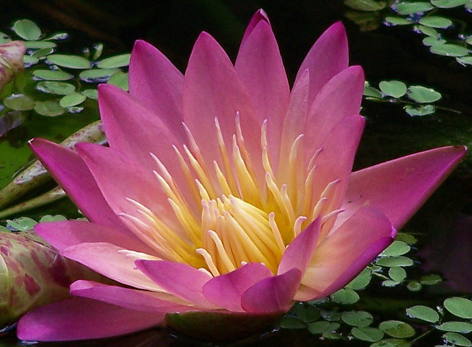 nymphaea-albert-greenberg-waterlily-tropical-day-blooming-water-lily
