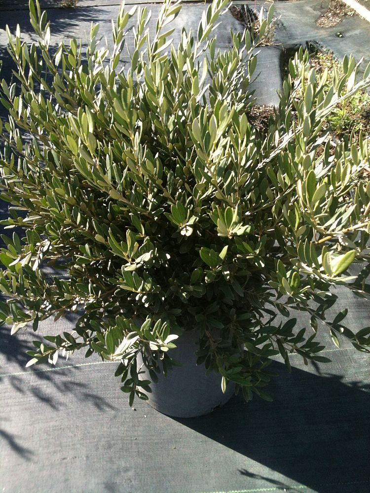 olea-europaea-wilsonii-fruitless-european-olive-fruitless