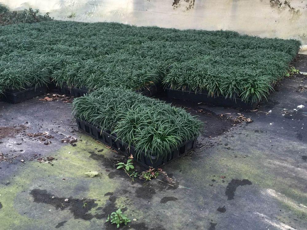 Dwarf Grasses Landscaping Dwarfmondograss plantant locate plants workwithnaturefo