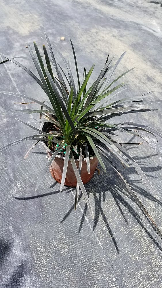 ophiopogon-planiscapus-nigrescens-black-mondo-grass-black-dragon