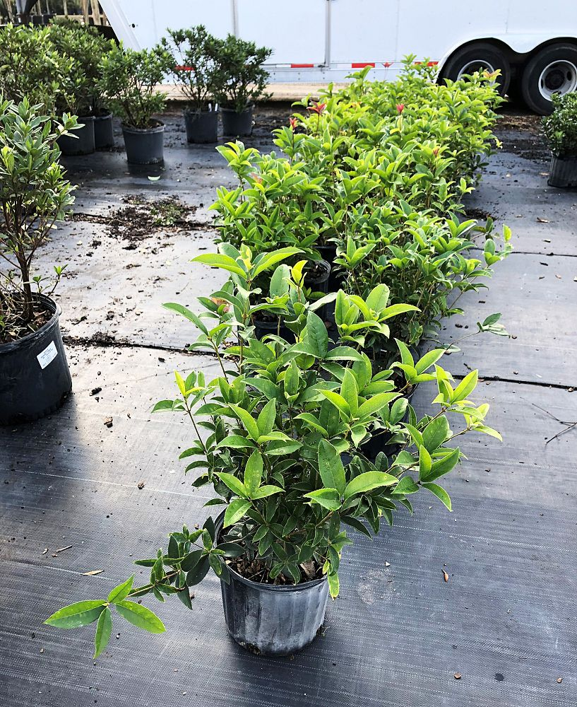 osmanthus-fragrans-sweet-tea-olive