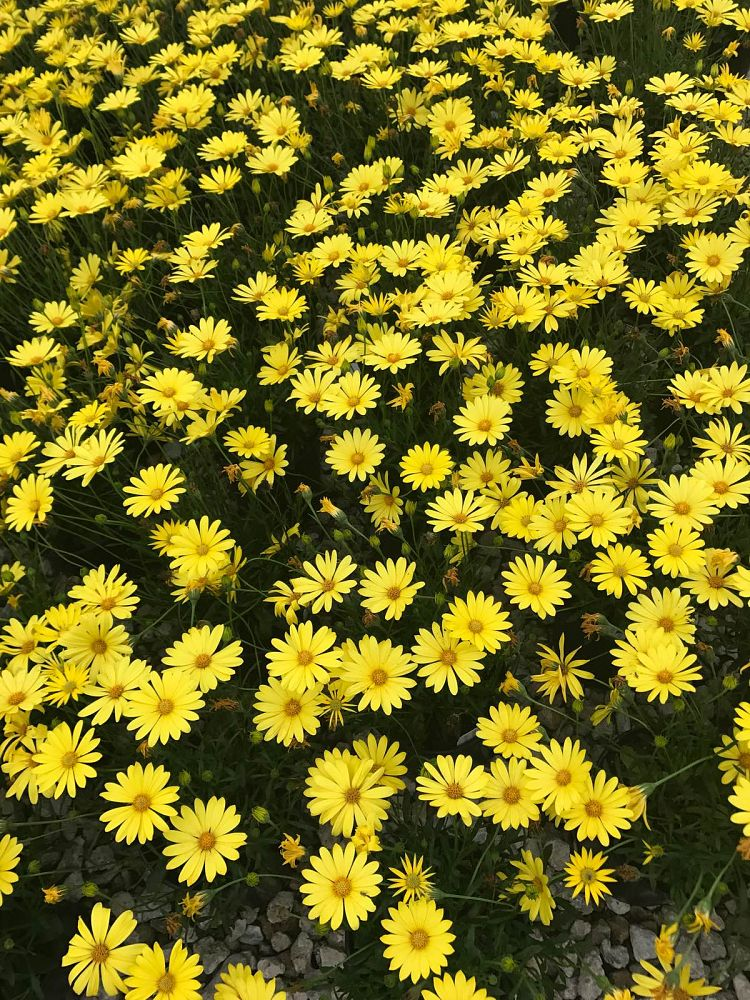 osteospermum-voltage-yellow-cape-daisy-african-daisy