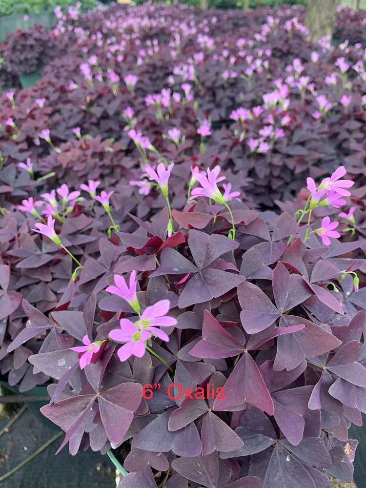 oxalis-triangularis-false-shamrock-wood-sorrel-purple-shamrock