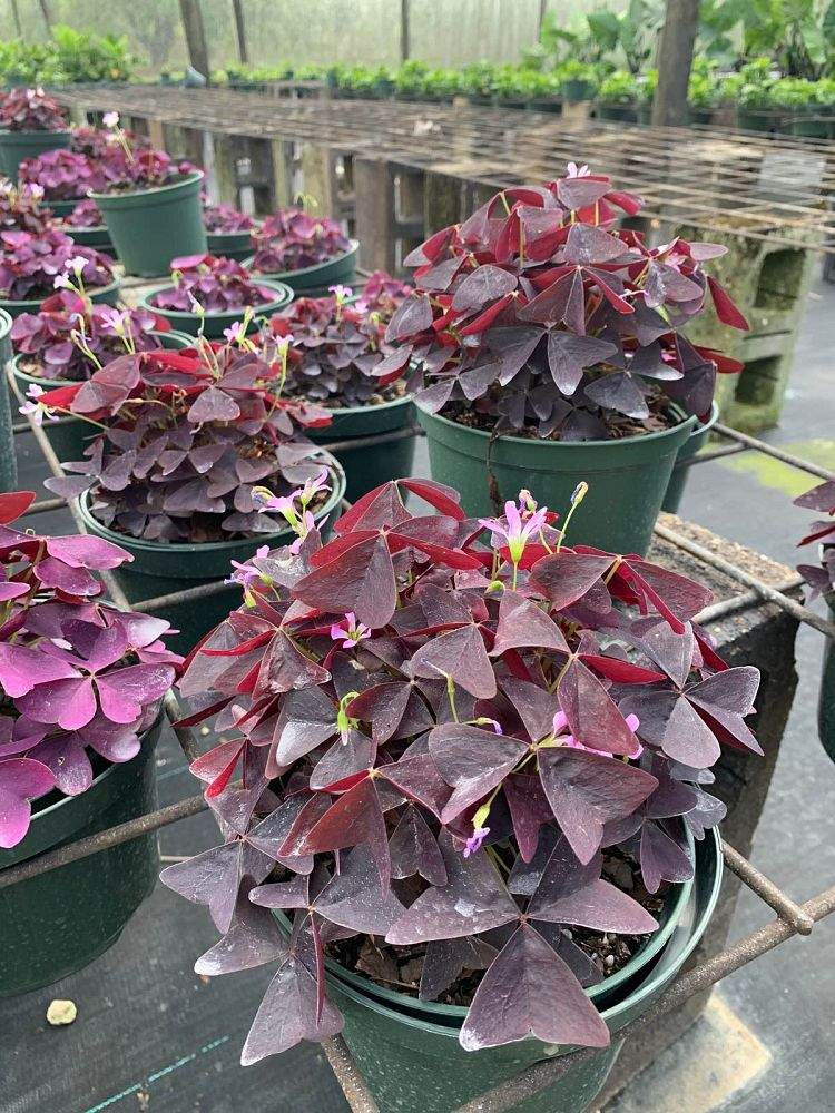 oxalis-triangularis-francis-purple-shamrock