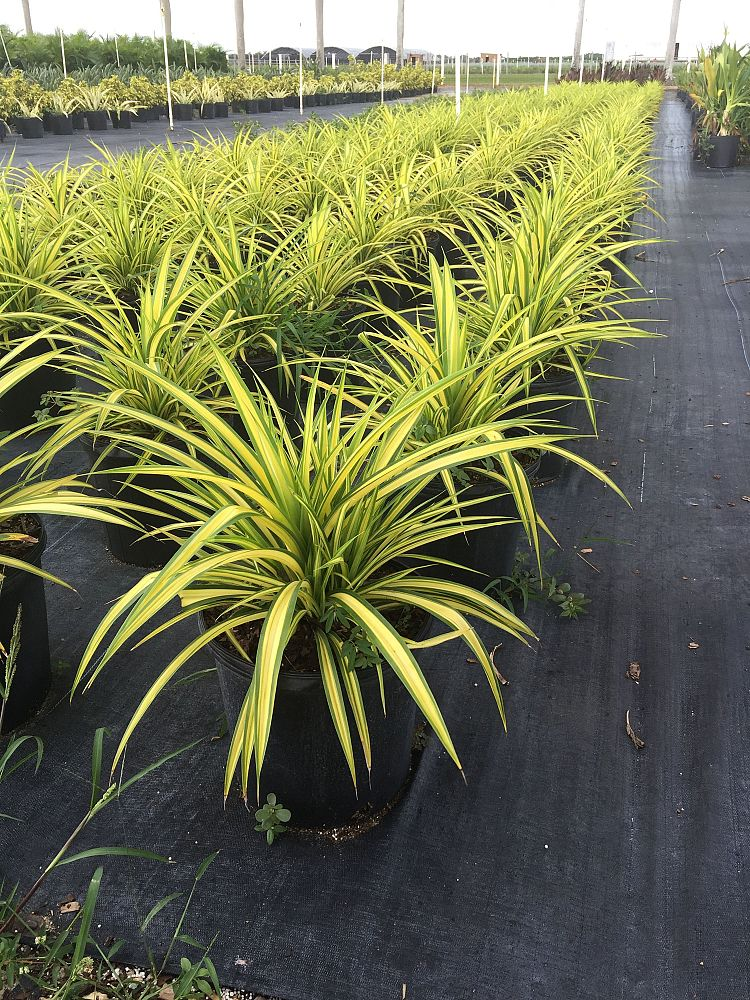 Pandan Plant Nursery Thenurseries