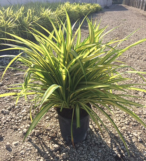 pandanus-baptistii-blue-screw-pine