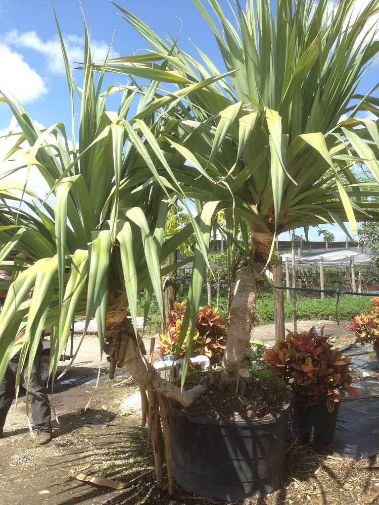Pine Island Nursery Inc Miami Fl
