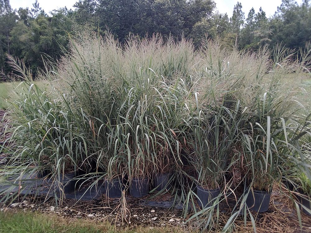 panicum-virgatum-dallas-blues-switchgrass