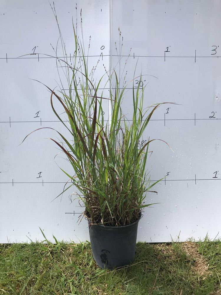panicum-virgatum-heavy-metal-switchgrass