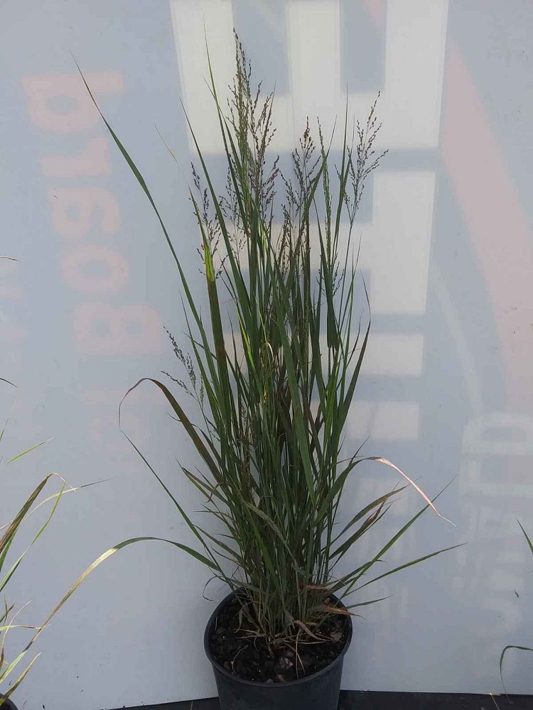 panicum-virgatum-northwinds-switchgrass