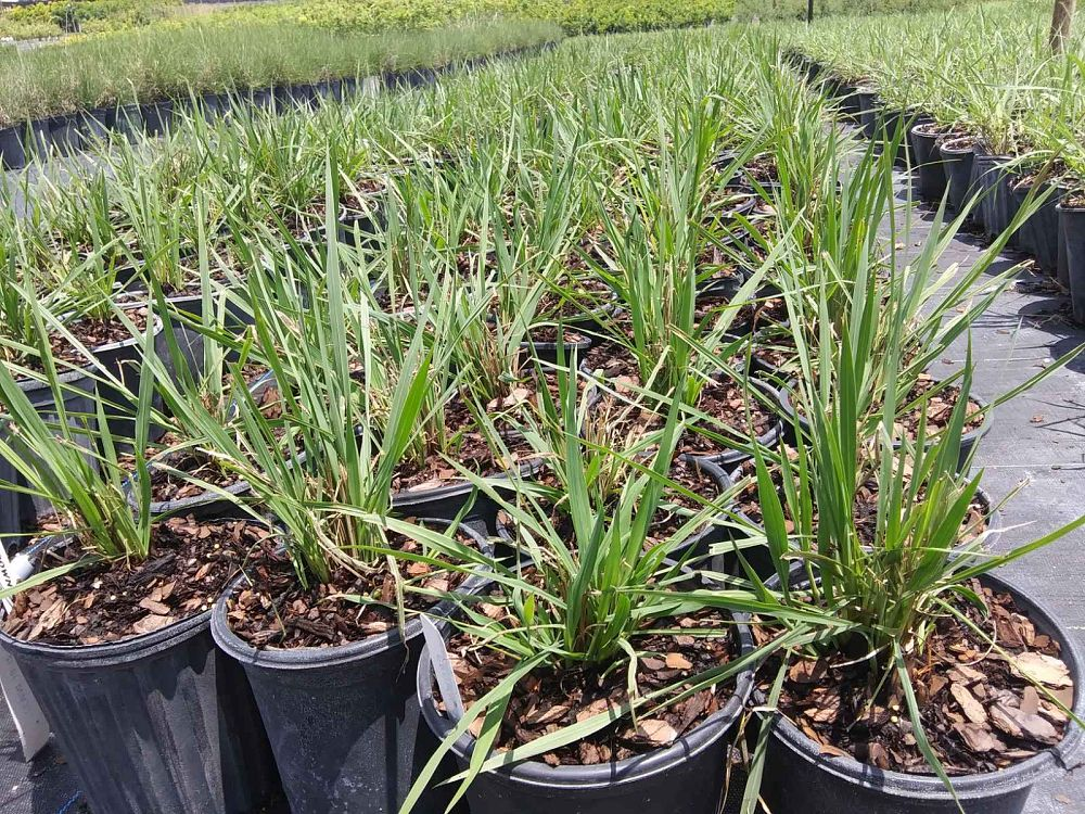 paspalum-quadrifarium-evergreen-paspalum-crown-grass
