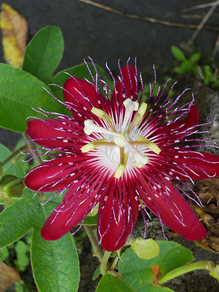 passiflora-lady-margaret-passion-flower-vine