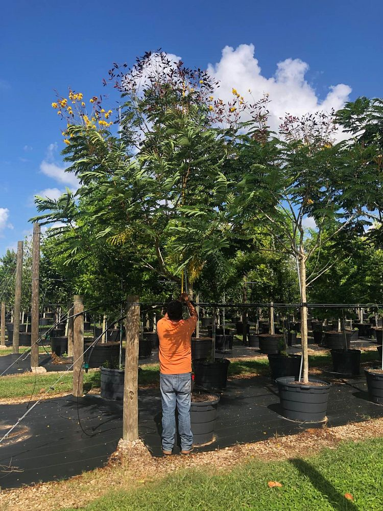 peltophorum-dubium-yellow-poinciana
